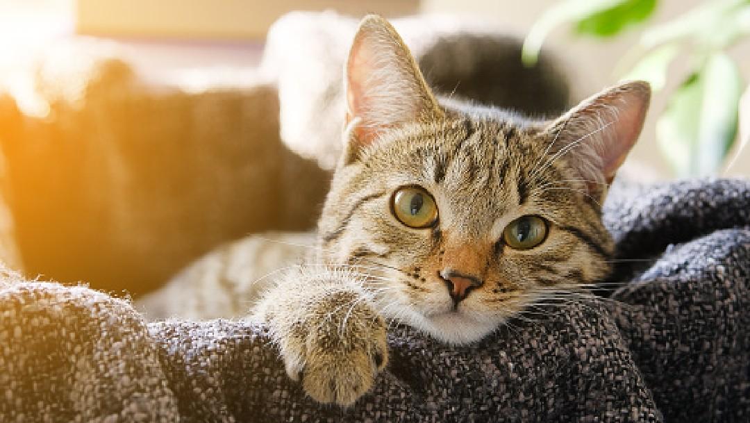 Foto: Gatitos asintomáticos propagan el coronavirus a otros gatos: estudio, 13 de mayo de 2020, (Getty Images, archivo)