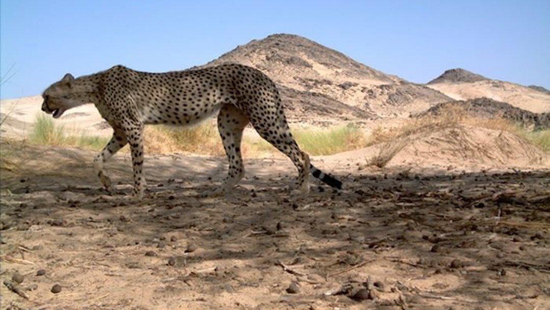 Guepardo Del Sahara Libertad Argelia Foto 2020