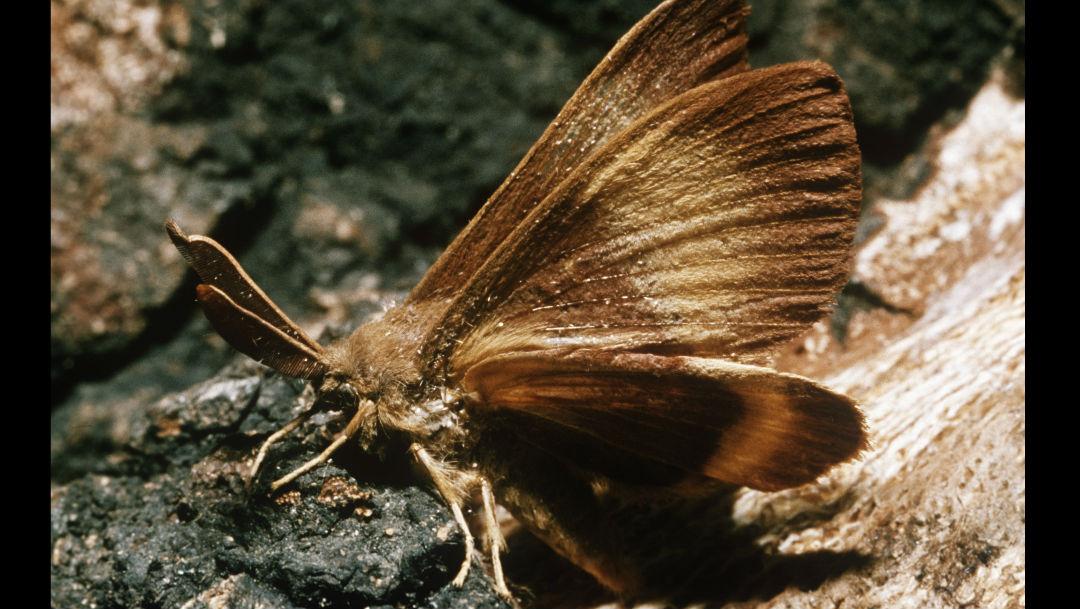 Foto Polillas gitanas llegan a Washington: Otro insecto por el cual preocuparse (además de los avispones asesinos) 8 mayo 2020