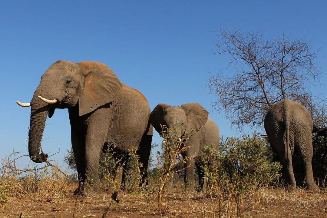 Una Elefante Embarazada murió en Kerala India después de comer fruta con explosivos