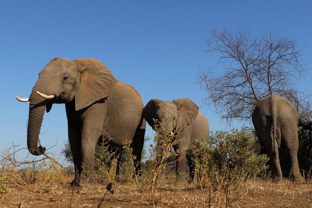 Elefante Embarazada India Piña Explosivos