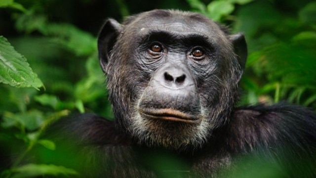 Investigadores descubren que chimpancés tienen un hueso en el corazón