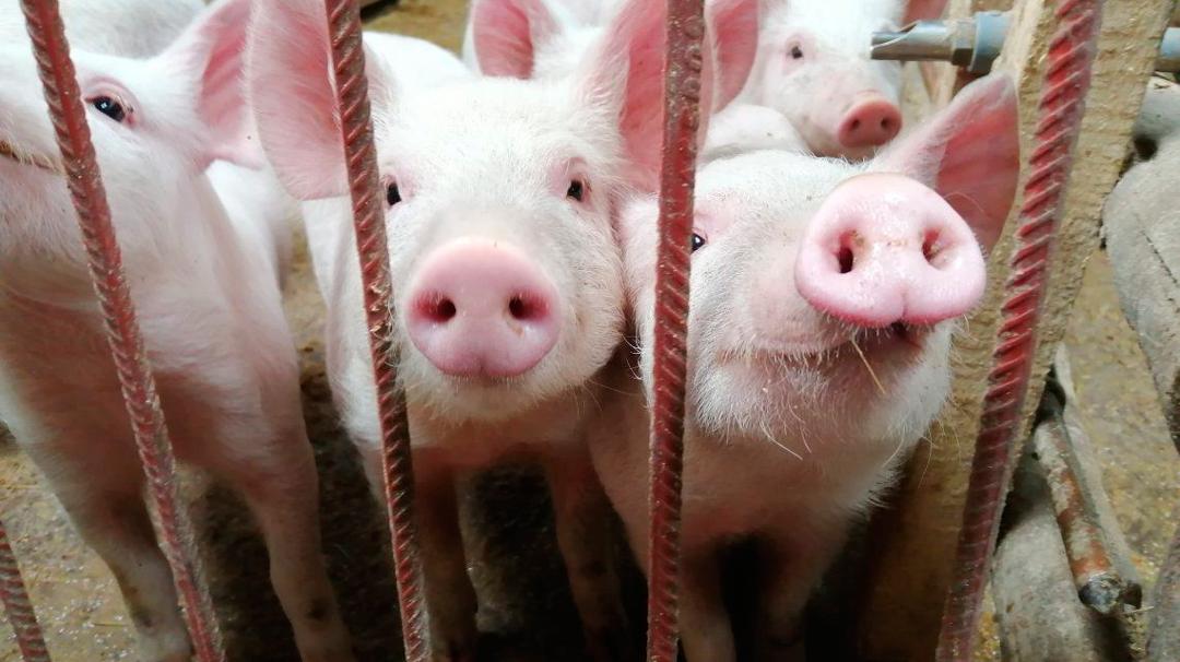 Esta nueva cepa de gripe porcina no se transmite entre humanos