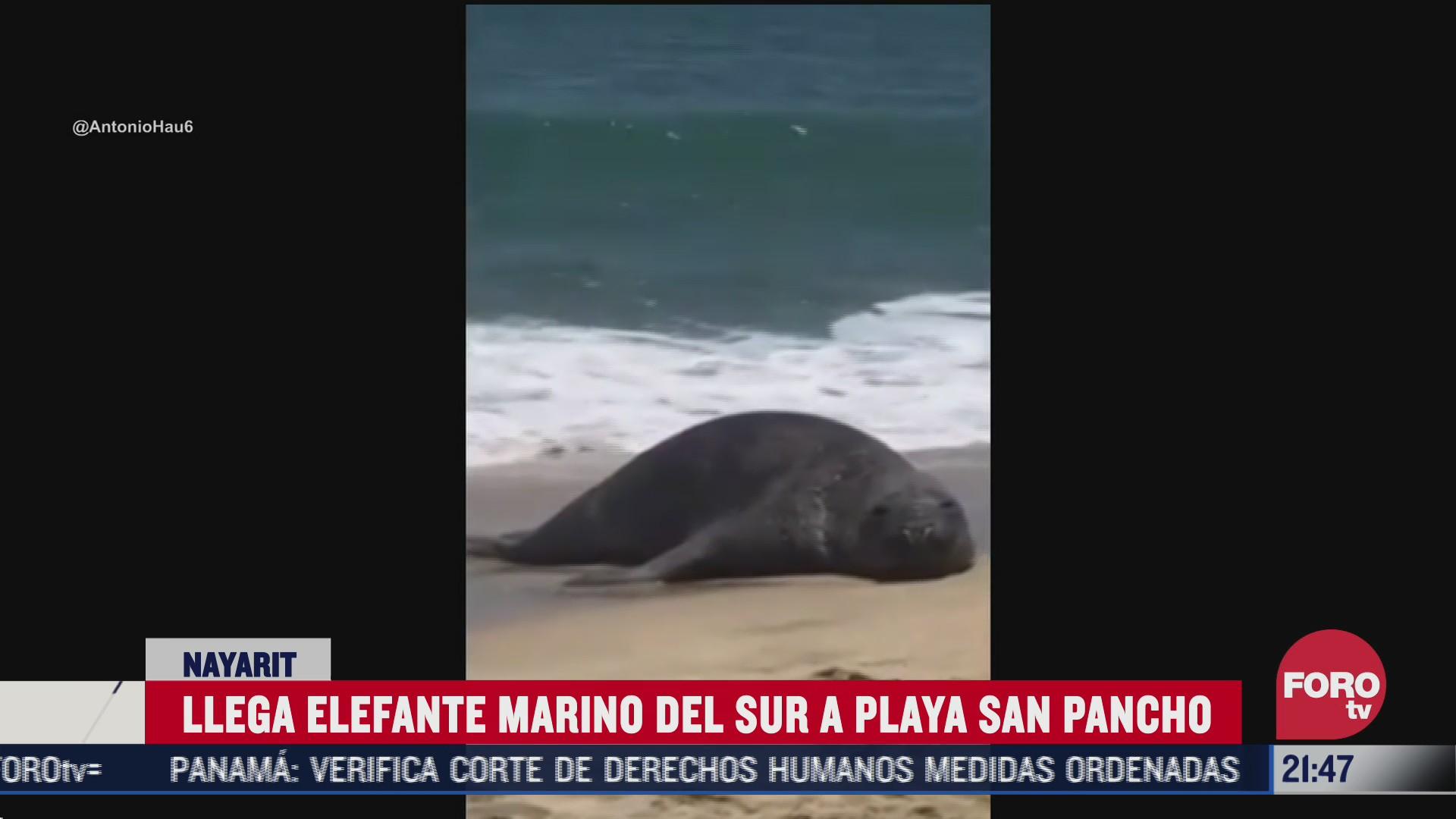 elefante marino llega a playas de Nayarit