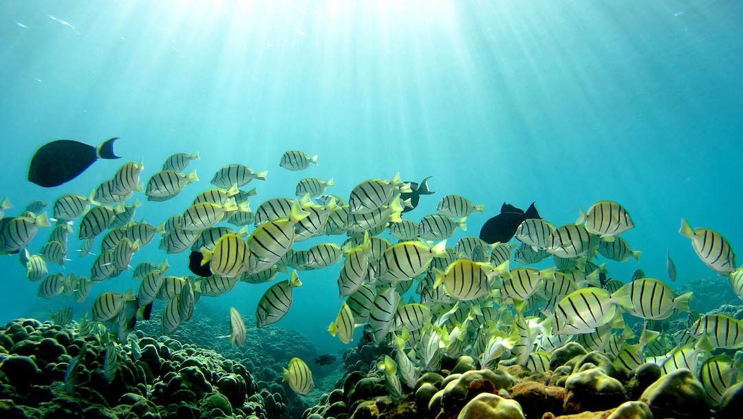 Apareamiento de varias especies de peces está en riesgo por el aumento de la temperatura en el agua