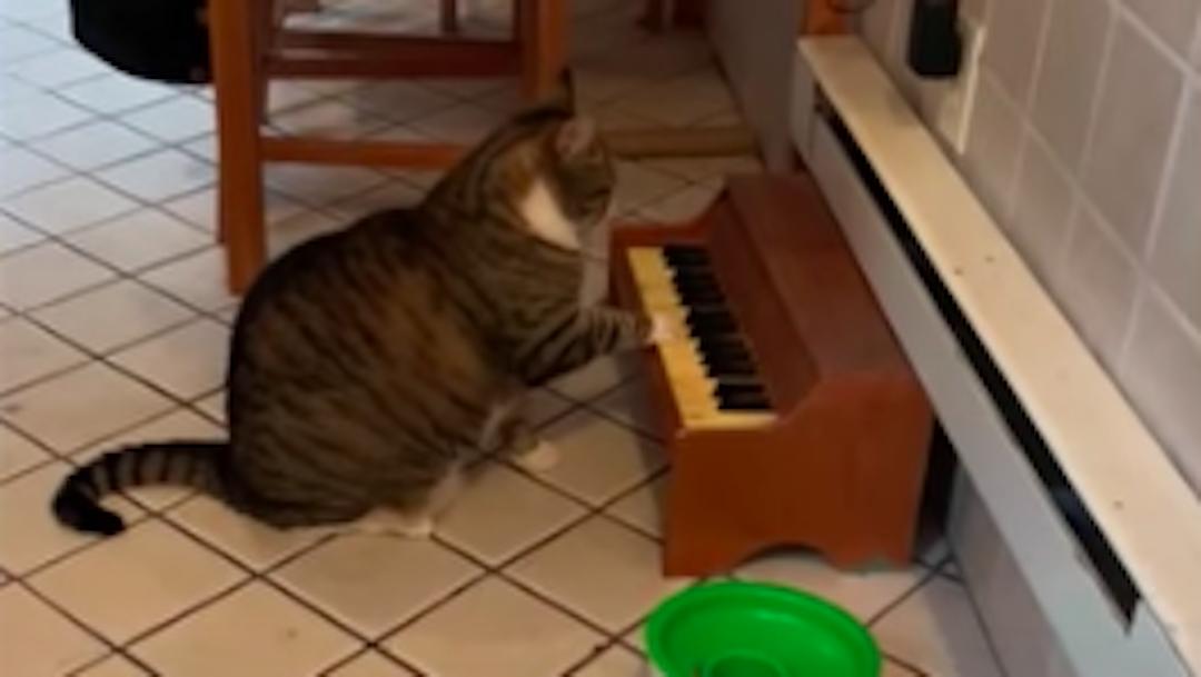 Gato toca el piano cuando tiene hambre, video