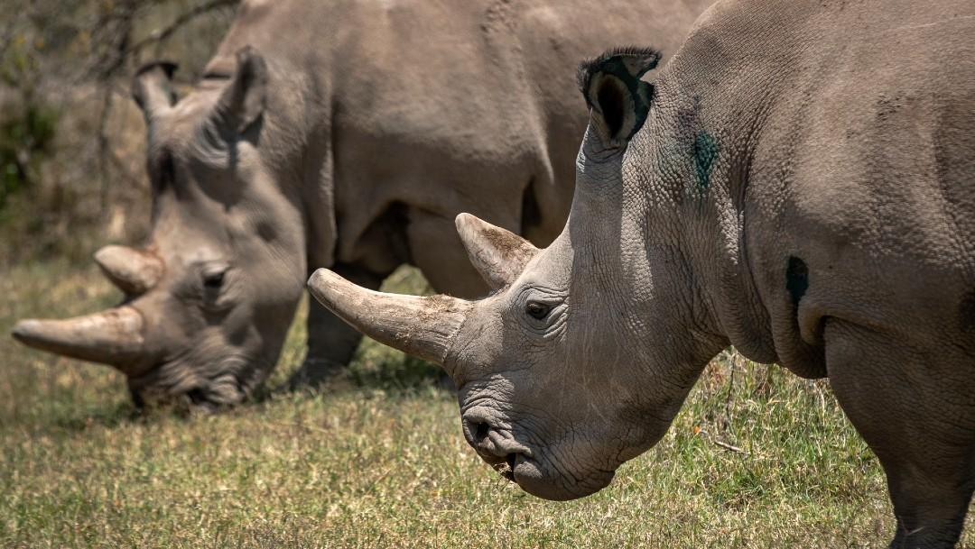 Hembras de rinoceronte blanco norteño