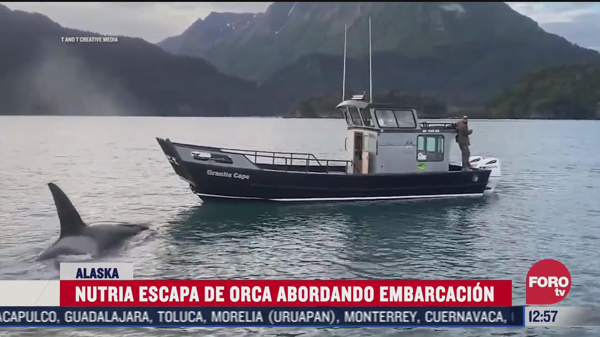 nutria escapa de orca abordando embarcacion en alaska