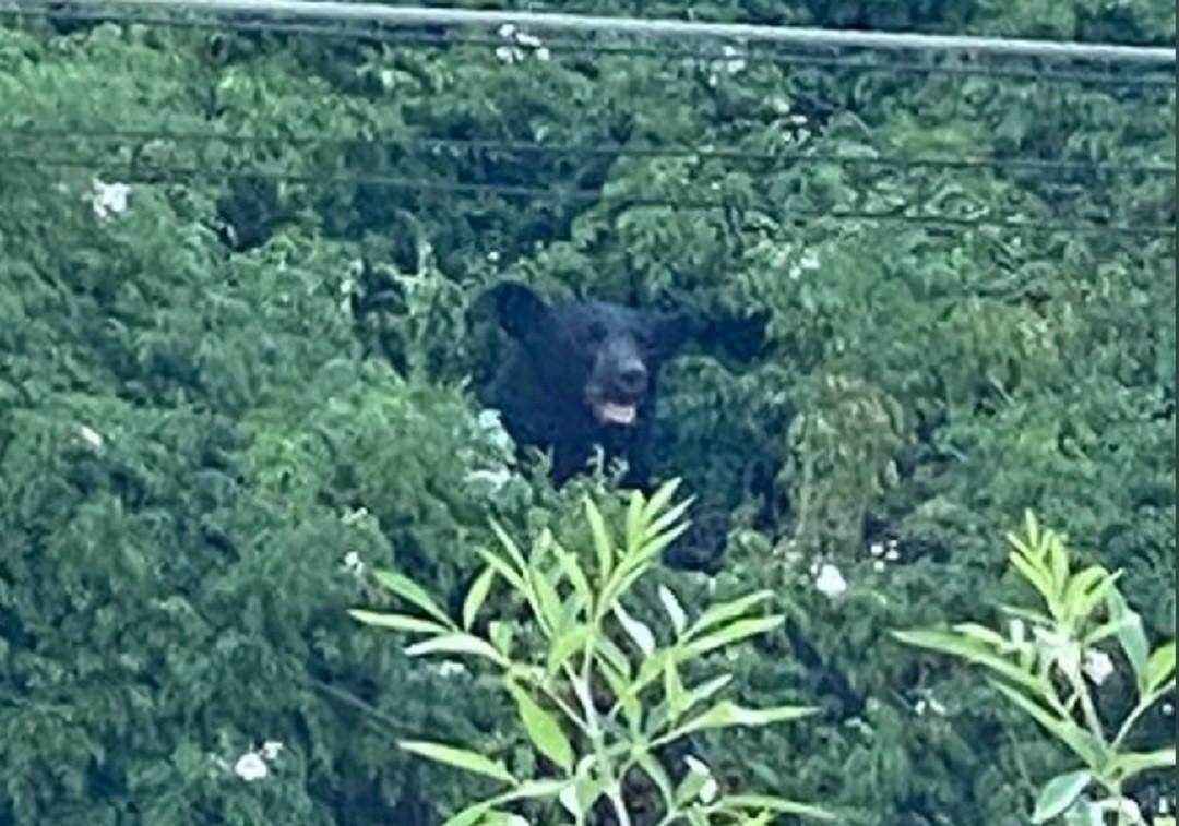 Captan-a-otro-oso-negro-en-calles-de-San-Pedro-Nuevo-León