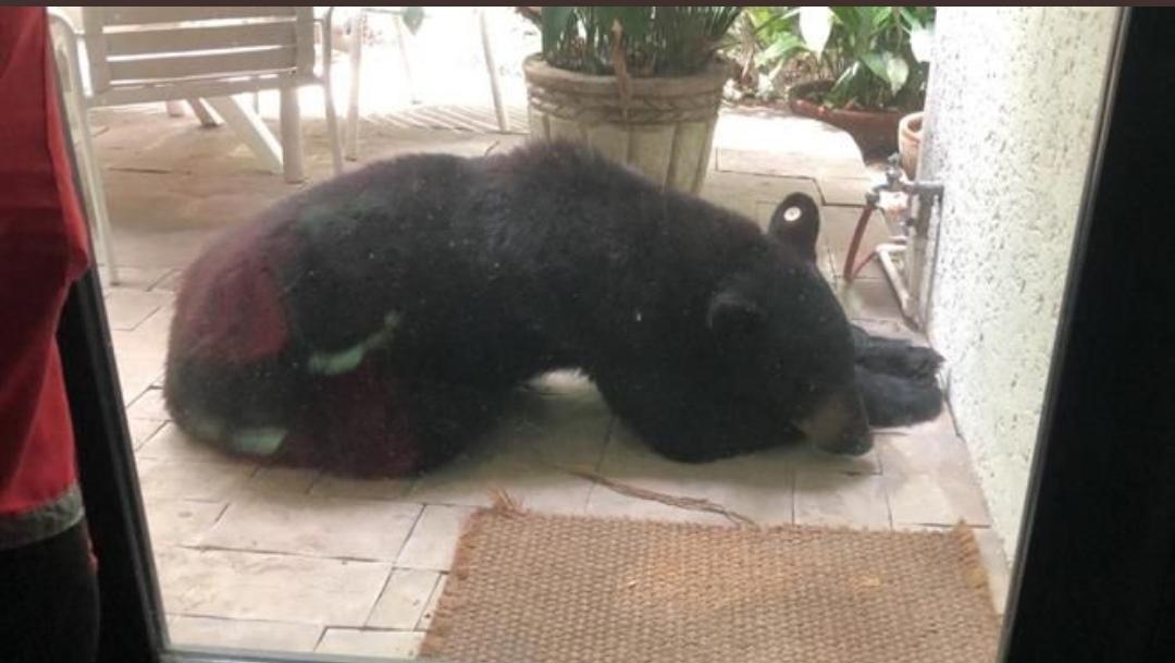 Oso de Chipinque, Monterrey, oso negro