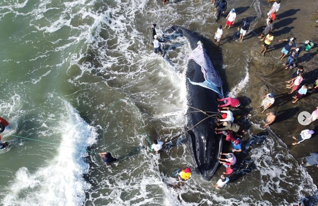 Ballena jorobada quedó varada en Guayaquil; fue rescatada
