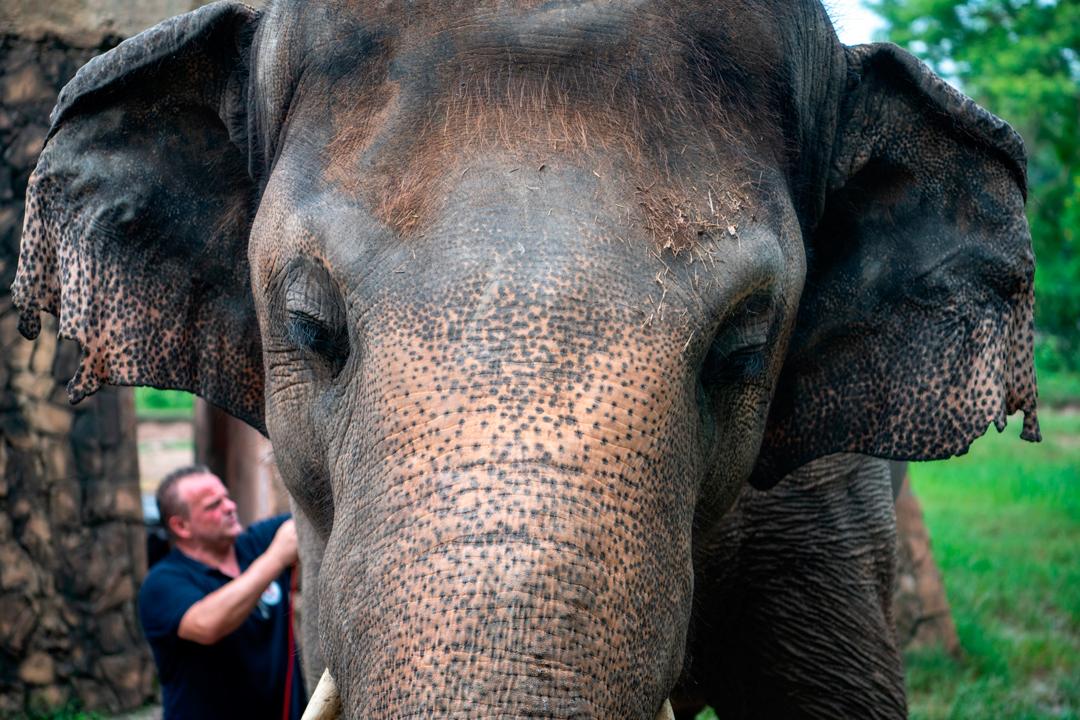 Elefante Kvaan será liberado después de 35 años con obesidad y maltratado