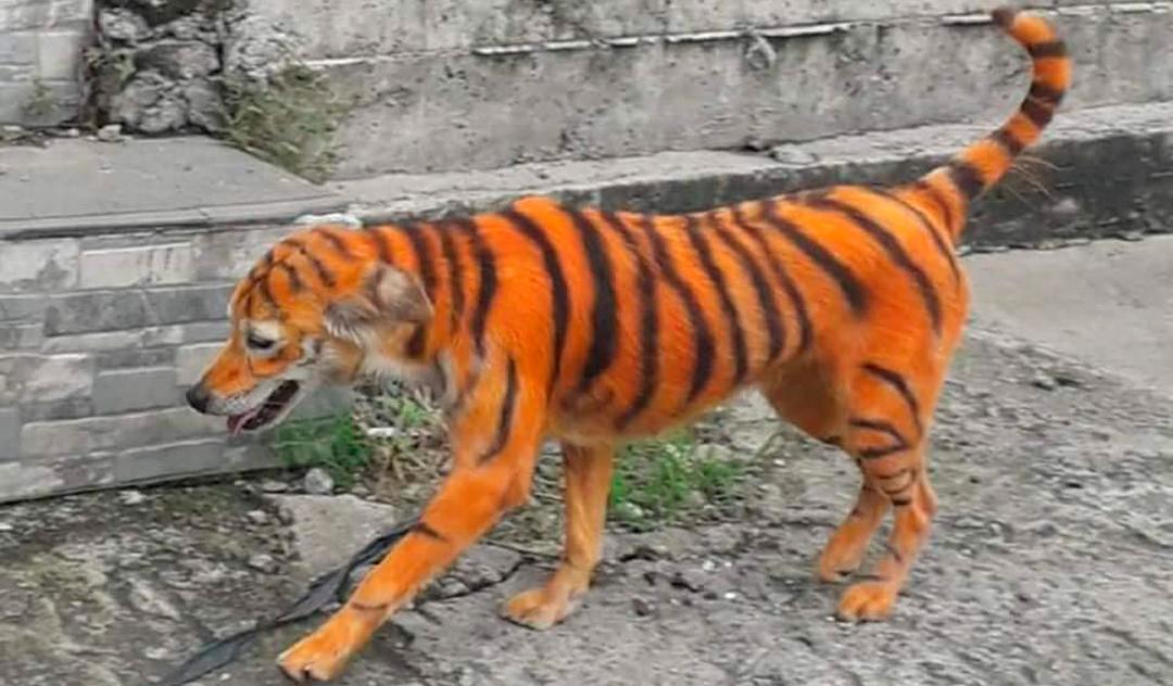 El perrito pintado de tigre causó conmoción en redes