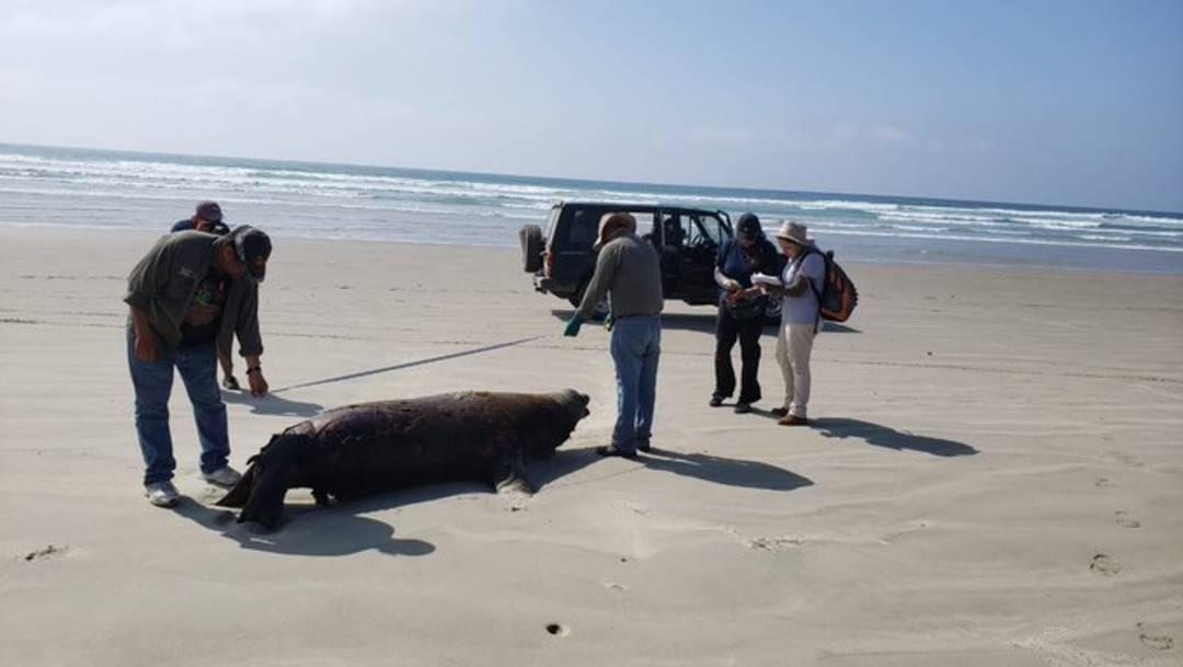 La Procuraduría Federal de Protección al Medio Ambiente investiga la muerte de 137 lobos marinos hallados en playas de Baja California Sur