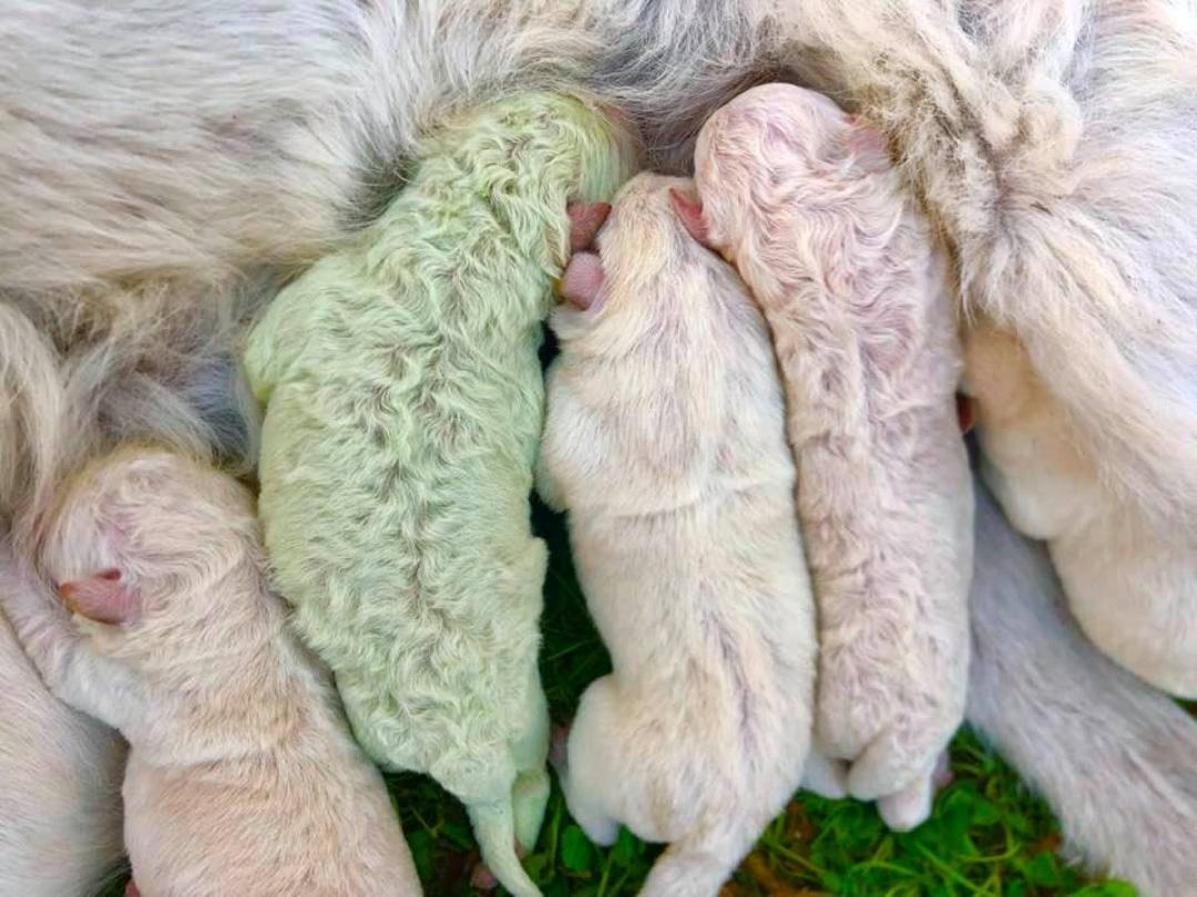 Nace en Italia un perrito de color verde; se llama Pistachio