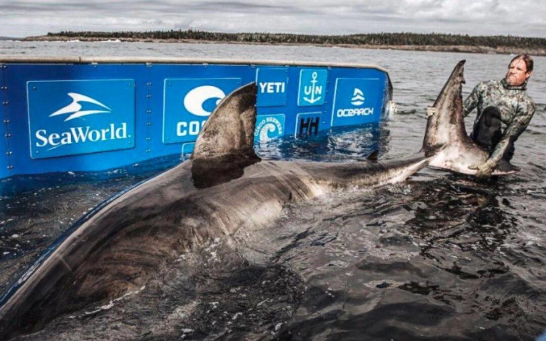 """Conoce a la """"Reina del Océano"""", un tiburón blanco de 50 años de edad capturado en Canadá"""