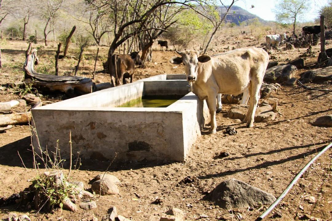 Ganaderos-de-Sonora-subastan-ganado-ante-sequía
