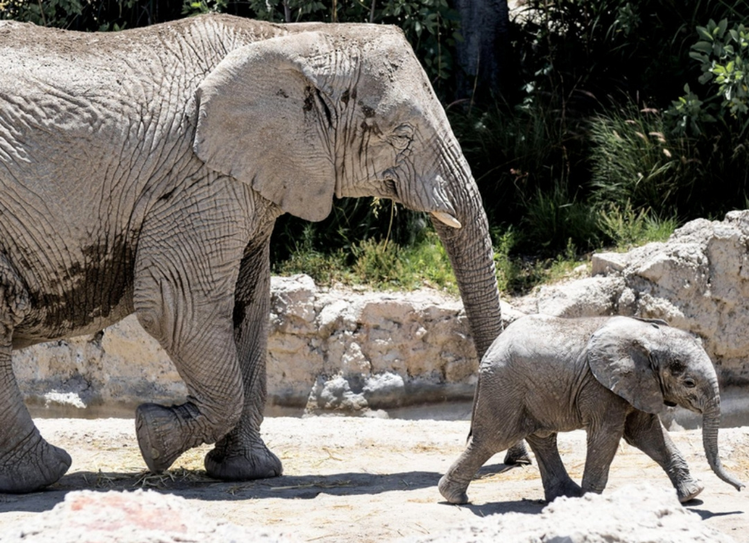 Nace en México 'Zoom', elefante africano del Africam Safari
