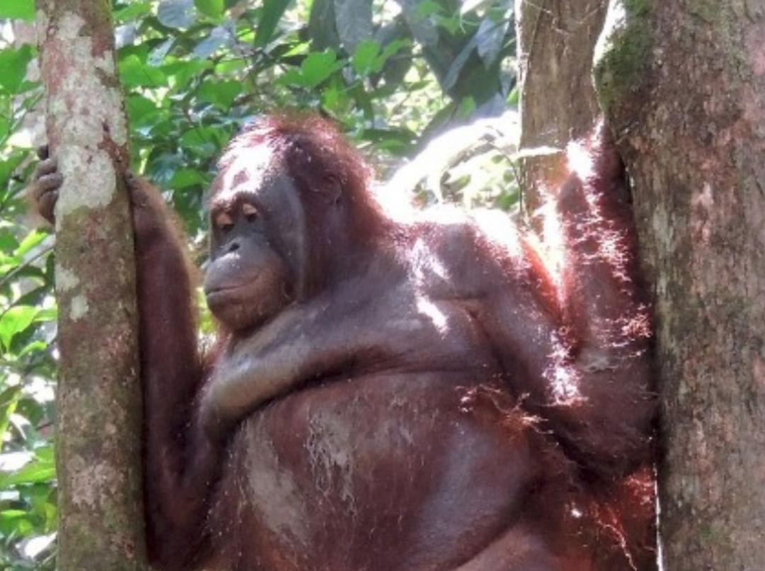 La historia de Pony, una orangután prostituida en Borneo