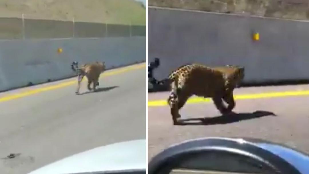 Video: Captan a jaguar caminando por autopista de Nayarit