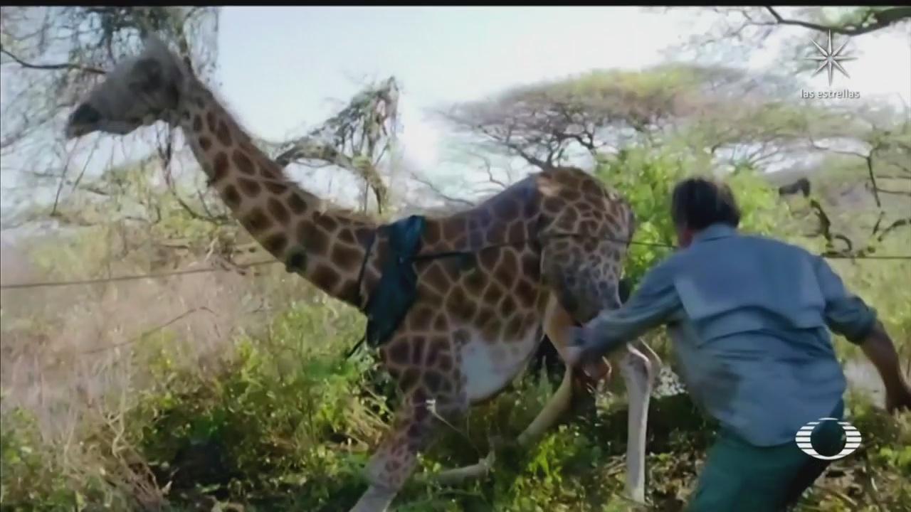 rescatan a jirafas varadas en isla de kenia