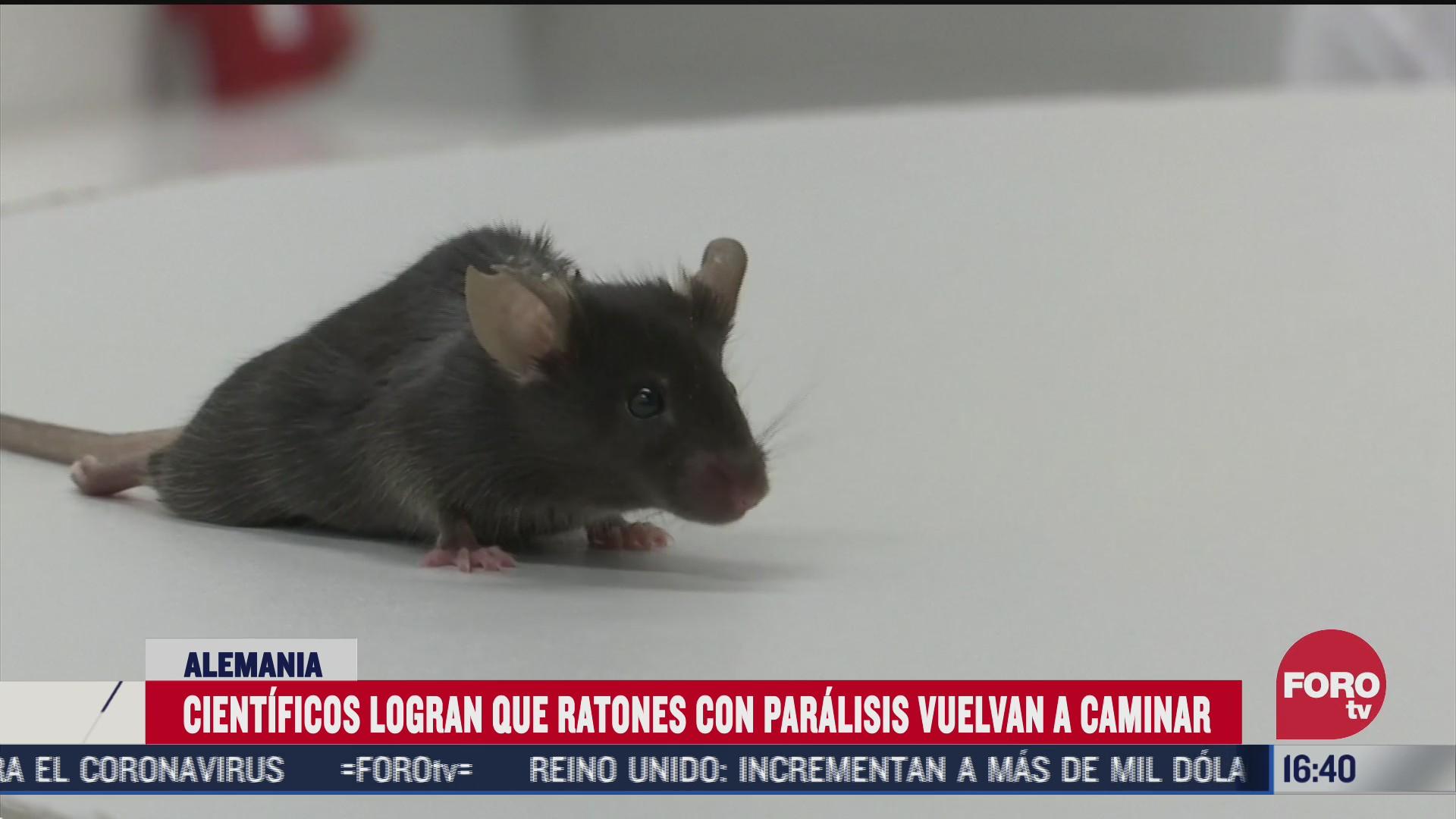 cientificos logran que ratones con paralisis vuelvan a caminar