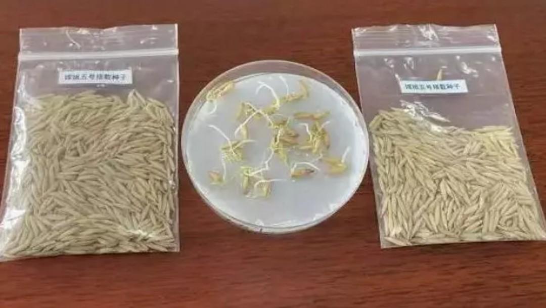 Brotan semillas de arroz en la Luna, a bordo de misión Chang'e 5