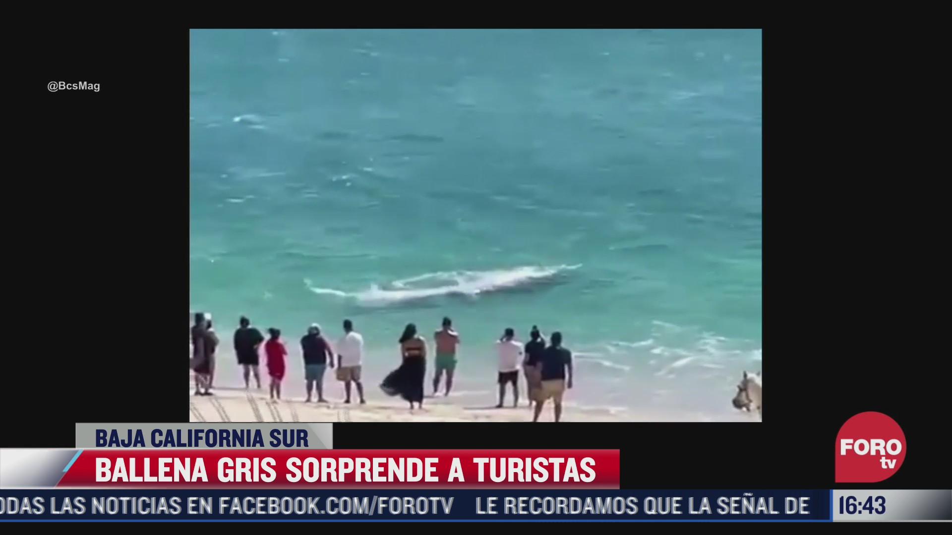 ballena gris sorprende a vacacionistas en playa de baja california