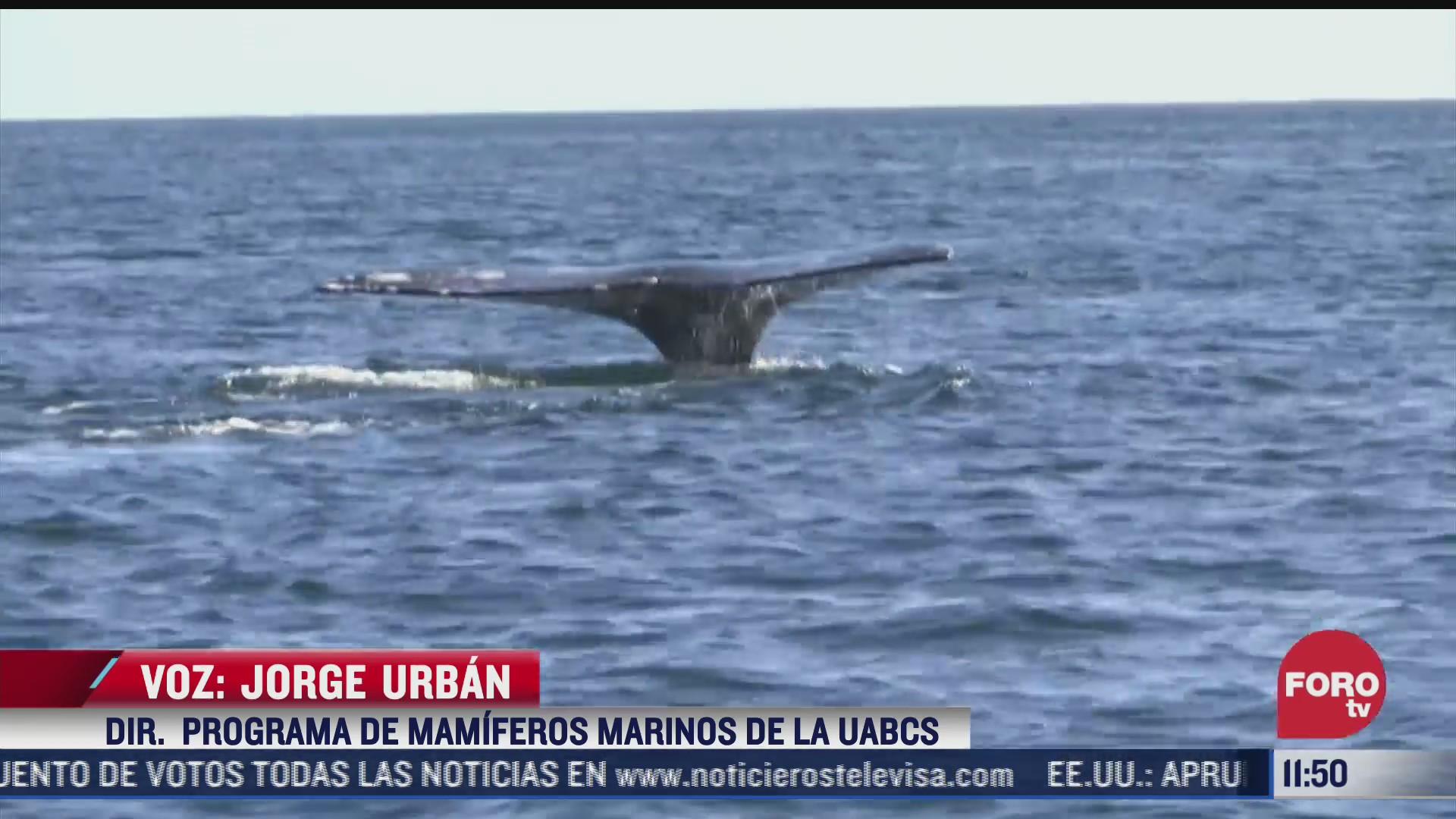estas afectaciones padece la ballena gris