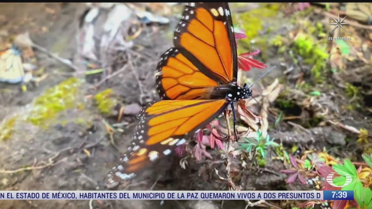 la mariposa monarca y la pandemia