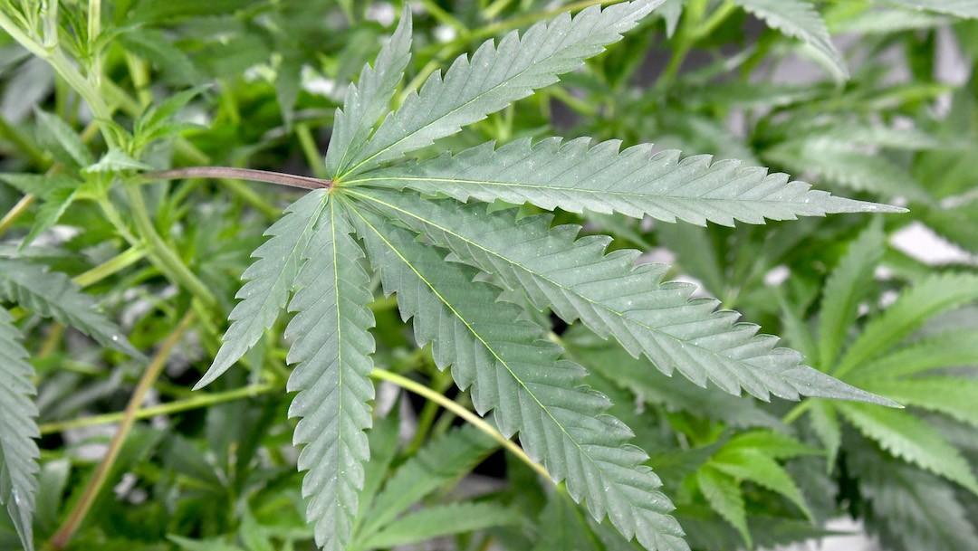 Un centro de cultivo de marihuana en Estados Unidos (Getty Images)