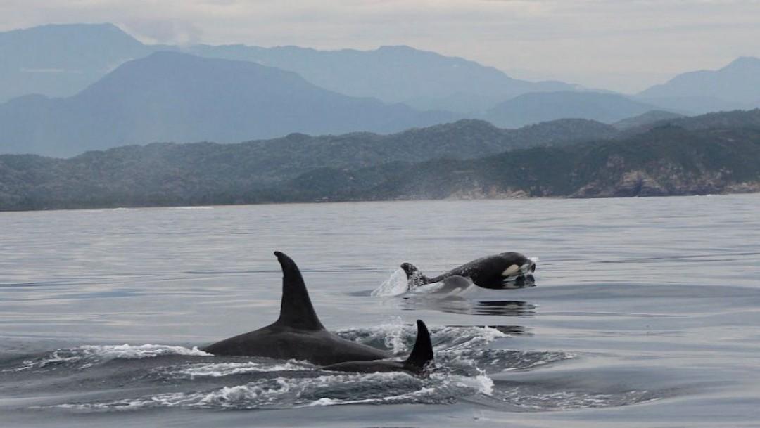 Equipo de la Universiad del Mar capta a un grupo de orcas (Twitter: @larutadeLi)