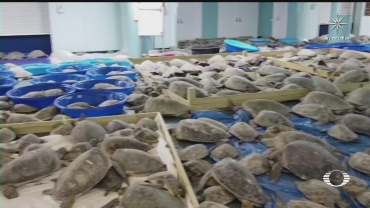 rescatan a tortugas de congelarse