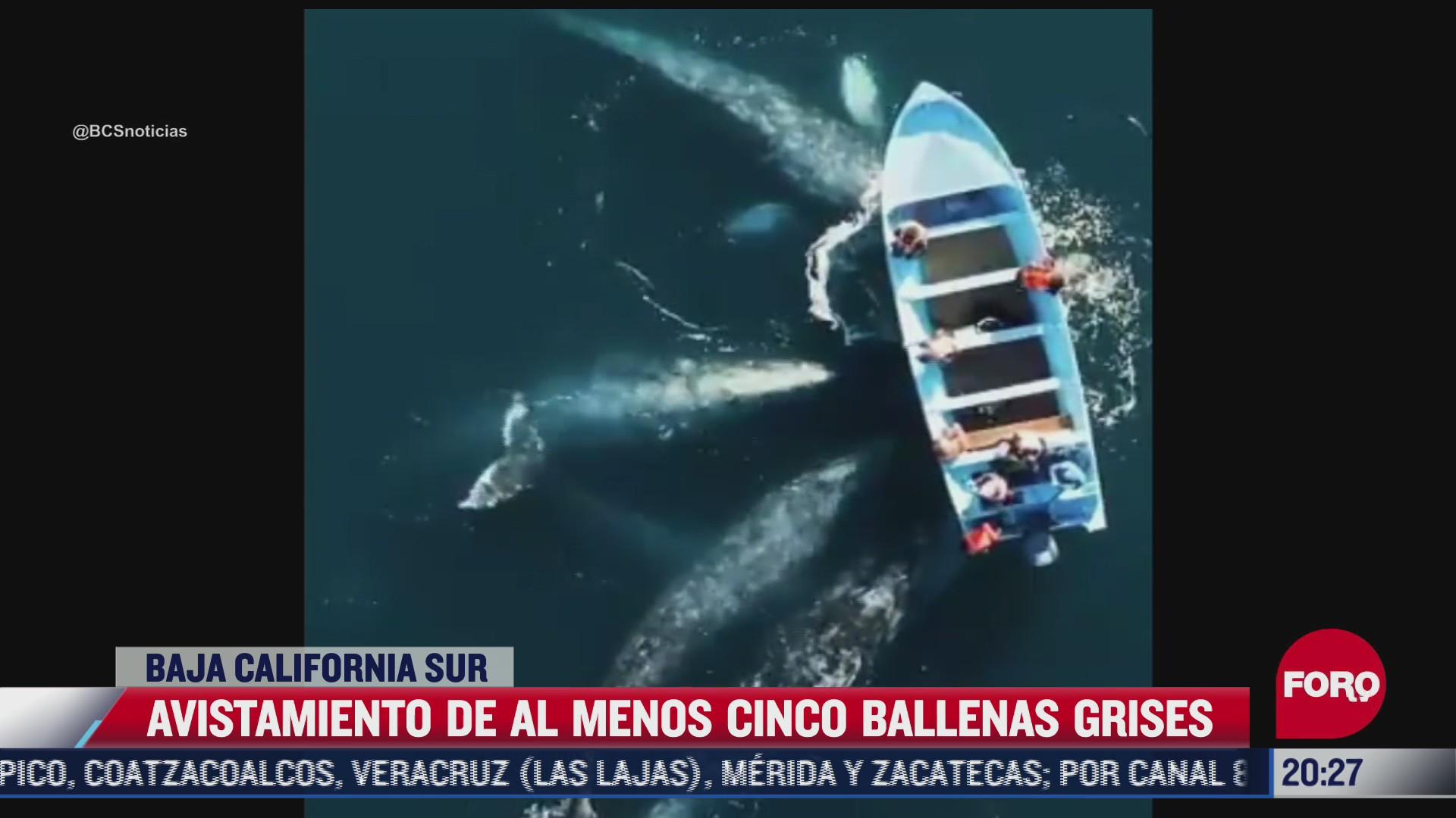 avistamiento de al menos 5 ballenas grises en bcs