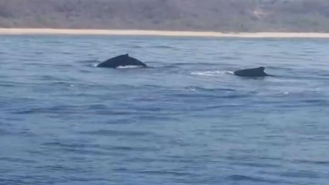 Ballena jorobada se libera de redes de pesca tras pasar varios minutos atrapada en Puerto Escondido