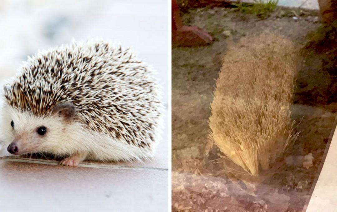 Zoológico de Japón reemplazó un erizo con un cepillo