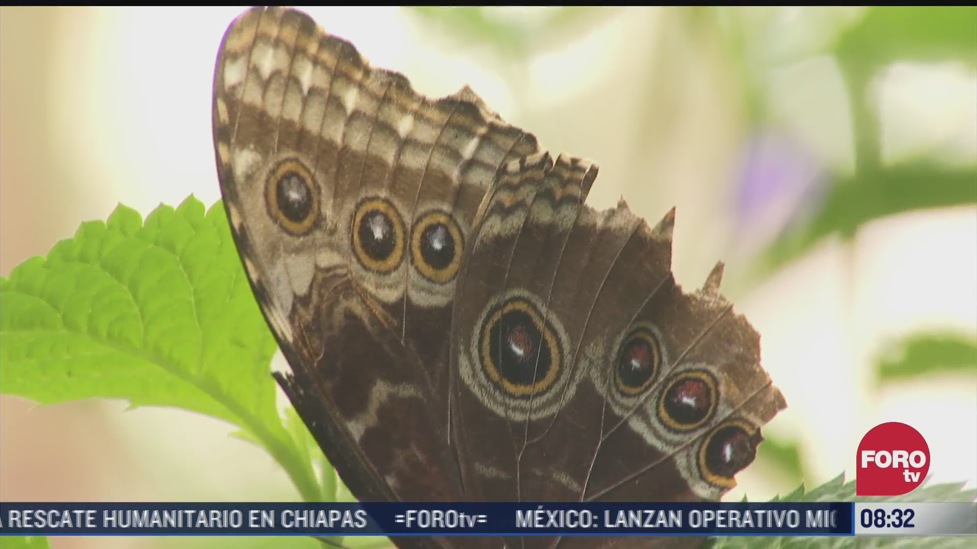 confinamiento por covid 19 permitio que mariposas restablezcan su poblacion