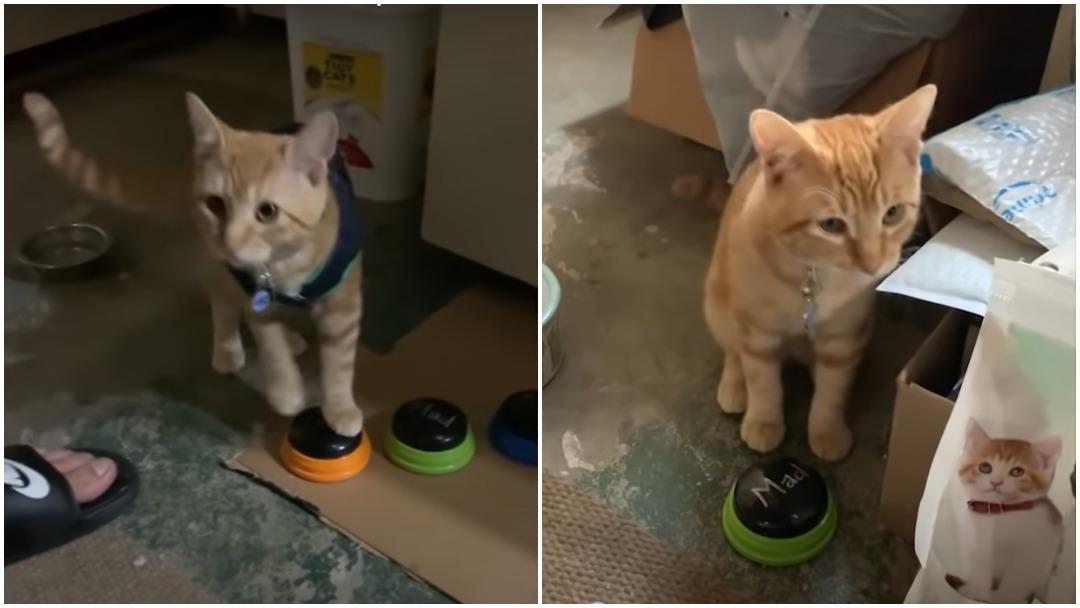 Gato aprende a comunicarse con insultos a sus dueños y se hace viral en redes sociales