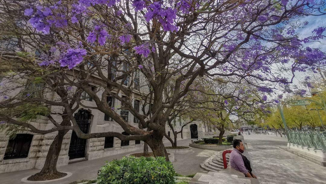 La enorme jacaranda que está a un costado del Palacio de Bellas Artes, en CDMX se pinta de color púrpura (Cuartoscuro)