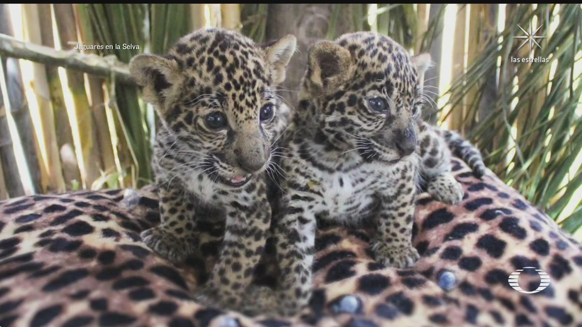 mexico pionero en proceso de rescate del jaguar