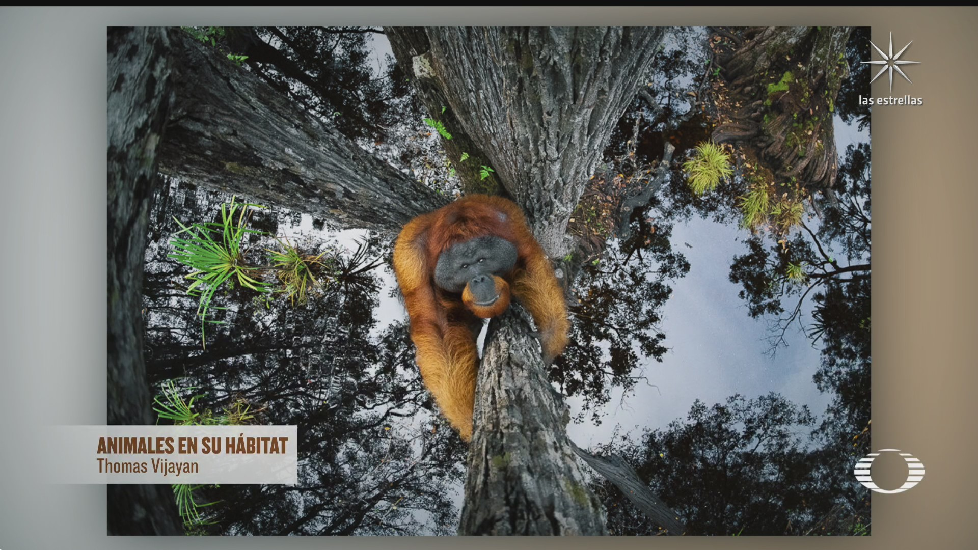 orangutan de borneo imagen de la foto ganadora de naturaleza