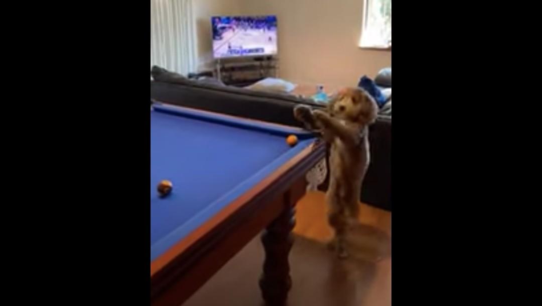 Perrito ayuda a su dueño a jugar billar