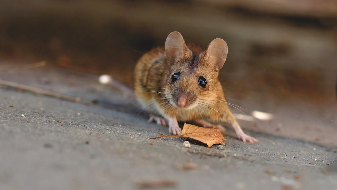 Miles de ratones invaden ciudad en Australia
