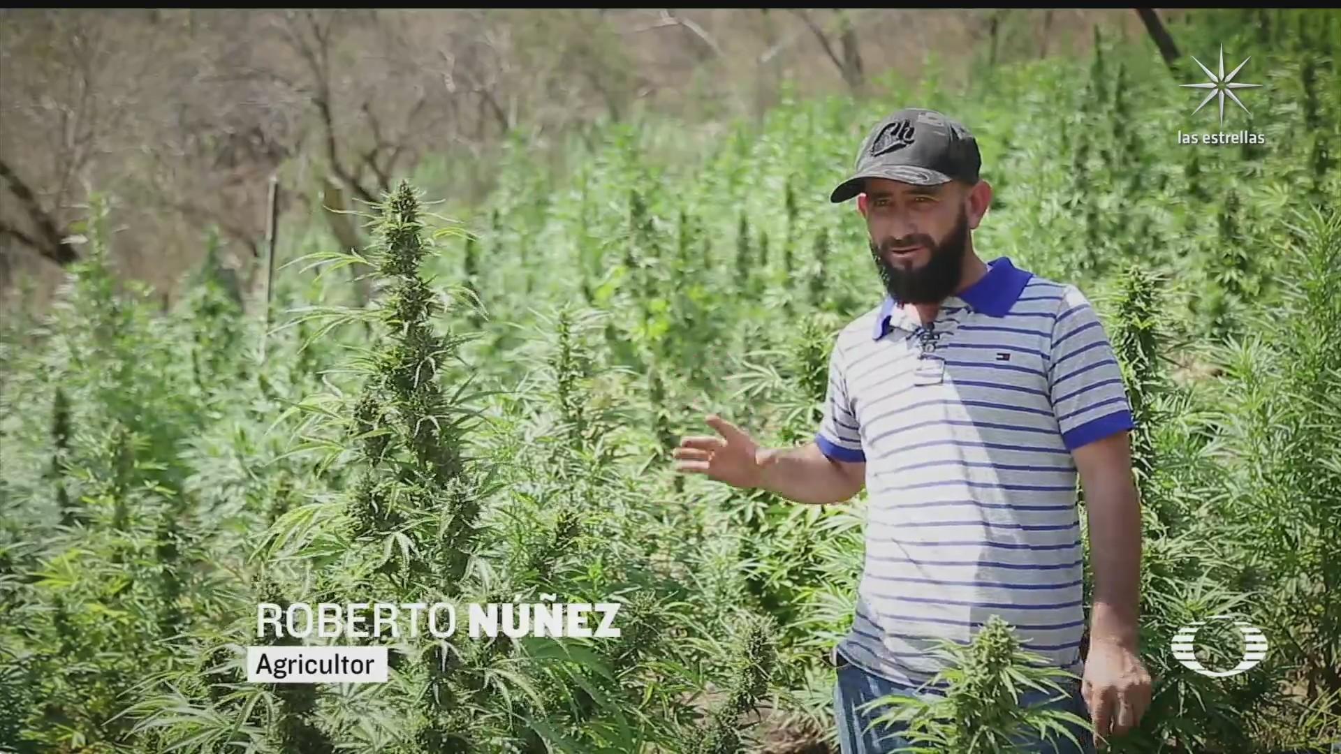 agricultores se alistan para solicitar licencias de marihuana de uso medicinal