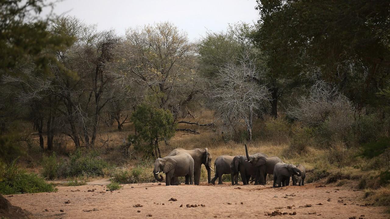 Una manada de elefantes (Getty Images, archivo)