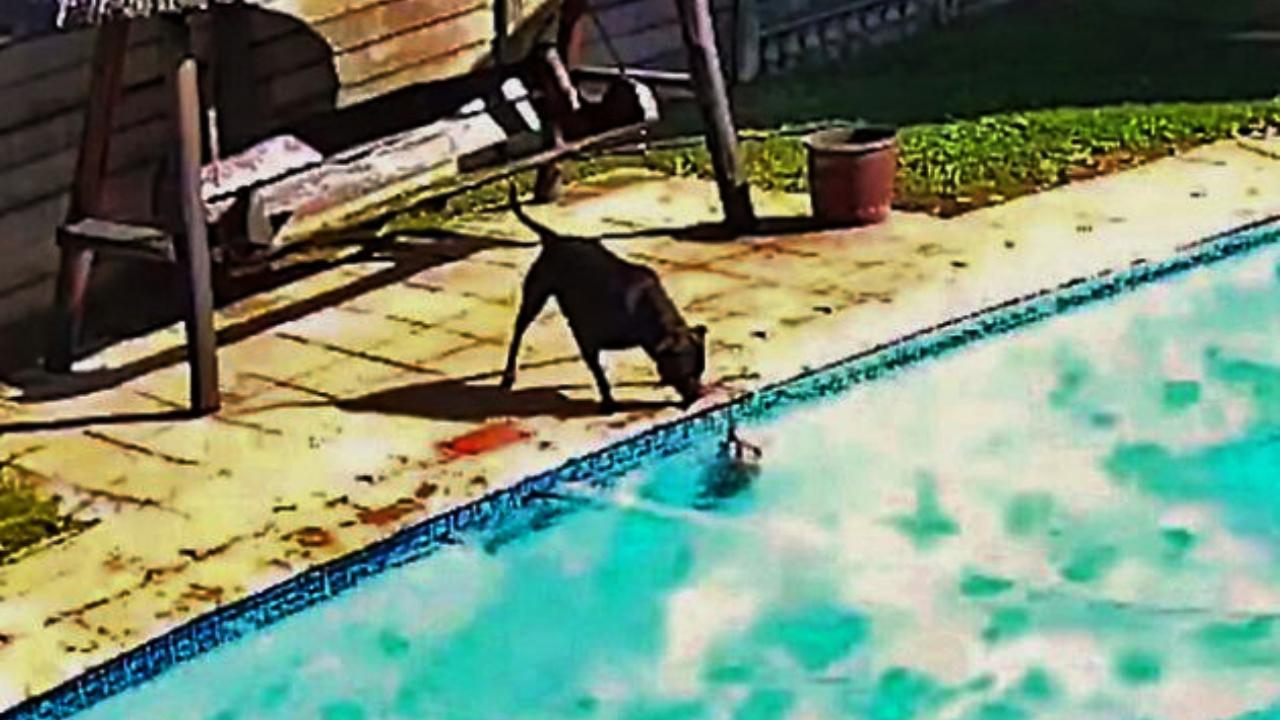 Perrita salva a perrito de morir ahogado en una piscina