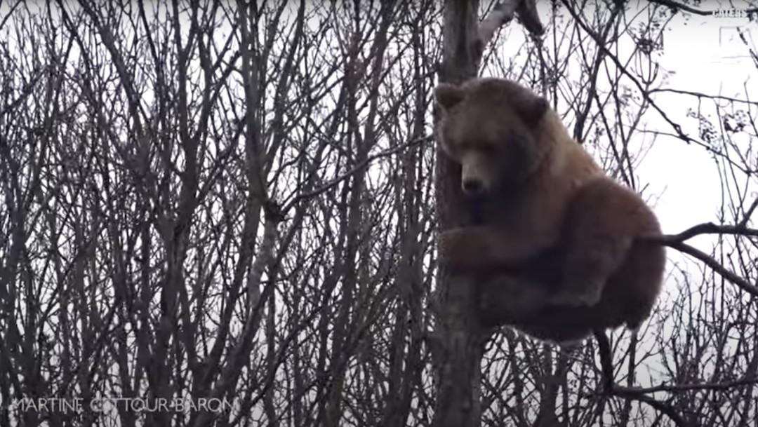 Oso trepó árbol de 18 metros para alcanzar nido de pájaro
