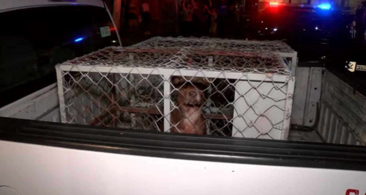Perros pitbull atacan a su dueño en departamento de Guadalajara (FOROtv)