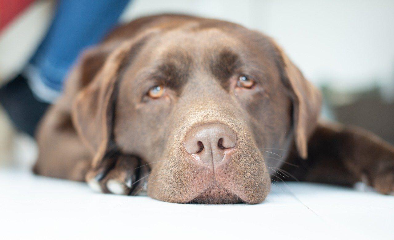 El chocolate es peligroso para perros y que hacer si lo comen