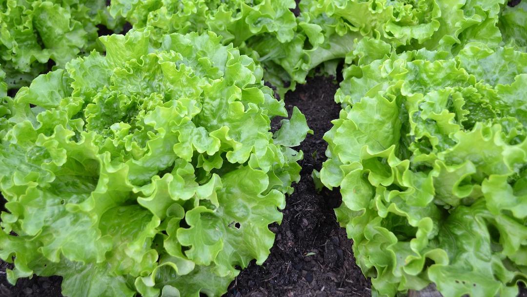 Verduras de hoja verde mejoran la función muscular